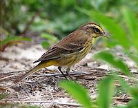 Western form palm warbler in breeding plumage