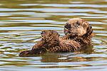 Sea Otter (Enhydra lutris) pup, Elkhorn Slough, Monterey Bay, California
