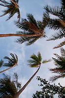Coconut Palms Above the Beach, Turtle Island, Yasawa Islands, Fiji