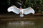 Jabiru Stork (Jabiru mycteria) drying its wings along the margins of the Piquiri River (a tributary of Cuiaba River). Northern Pantanal, Brazil.