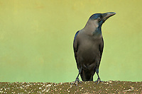 Crow on the road to Kandy, Sri lanka