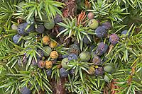 Gewöhnlicher Wacholder, Heide-Wacholder, Früchte, Juniperus communis, Common Juniper, Genévrier commun