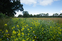 15-8-2021 Field margins in Rutland <br />  ©Tim Scrivener Photographer 07850 303986<br />      ....Covering Agriculture In The UK....