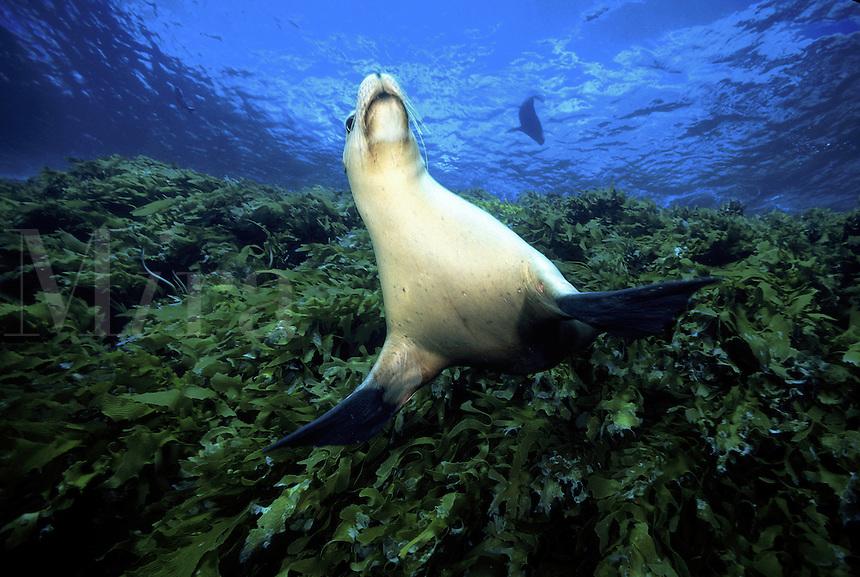 Australian sea lion [Neophoca cinerea] has it's pectoral fins out. South Australia.