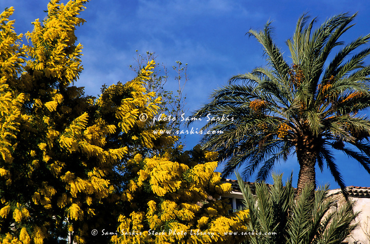 Yellow flowering mimosa and date palm trees.