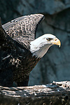 bald eagle close-up of body perched in tree expands wings, vertcial
