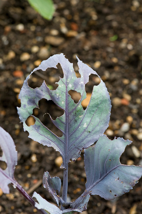 Leaves of purple Brussels sprouts eaten by the caterpillars of large and small white cabbage butterflies, late August.