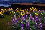 Columbia River Gorge, Lupine, Balsam and other wildflowers at Tom McCall preserve at Rowena Overlook on the Old Columbia Gorge Highway.