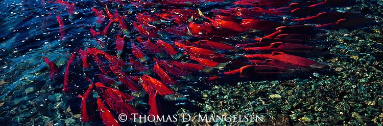 A group of sockeye salmon swim to the spawning beds on the Alaskan Peninsula.