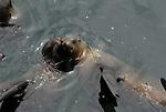 California sea lions snuggle in water