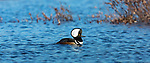 Drake hooded merganser swimming in a northern Wisconsin lake