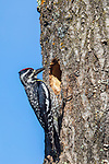 Female yellow-bellied sapsucker bringing food to her nestlings.