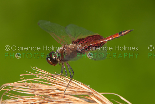 Carolina Saddlebags (Tramea carolina) Dragonfly - Male, Lake Kissimmee State Park, Lake Wales, Florida