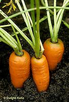 HS12-016a  Carrot - tap roots, Bolero variety