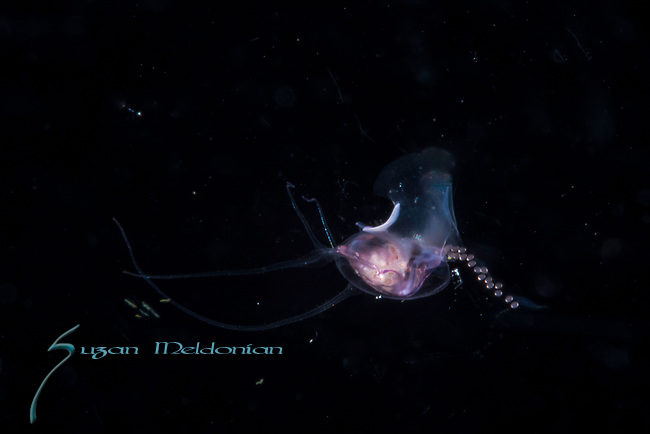 Pterapod Cavolinia laying eggs , Black Water Diving; Jellyfish; Plankton; larval crustaceans; larval fish; marine behavior; pelagic creatures; pelagic larval marine life; plankton creatures; underwater marine life; vertical migration marine creatures