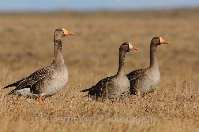 First summer Greater White-fronted Geese (Anser albifrons) of the subspecies A. a. frontalis exhibiting Basic I Plumage which resembles adult plumage but is not as boldly or brightly marked. Shows narrower white forehead than adults and has less extensive or no dark ventral markings. Birds do not exhibit characteristic (adult) dark belly speckling/barring, until after their second summer. Arctic Coastal Plain, Alaska. June.