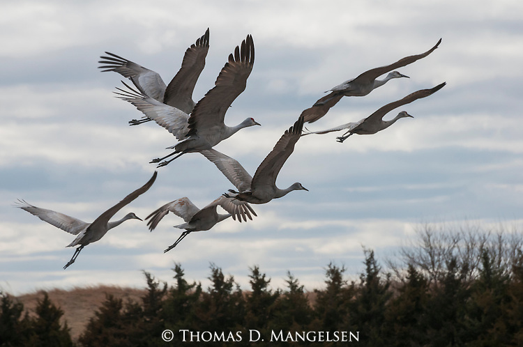 A flock of sandhill cranes fly across the sky in Nebraska.