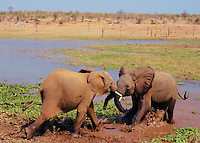 "Young ""teenage"" African Elephants (Loxodonta africana) play sparring.  Matusadona National Park, Zimbabwe, Africa.  Sept."