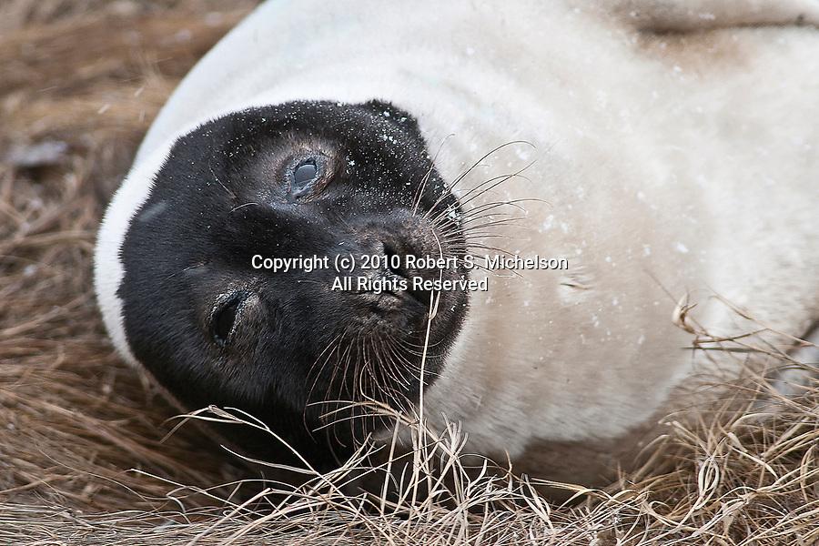 Harp Seal adult resting on salt marsh grass, Weymouth, Massachusetts during snow storm, close-up.