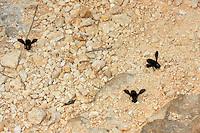 Schwarze Mörtelbiene, sammeln Sand, Lehm zum Nestbau, Megachile parietina, Chalicodoma parietinum, Chalicoderma muraria, wall bee, mason bee, Mortar bee