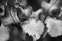 Blue Staccato iris close up. Schneider's Gardens. Oregon