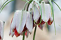 Fritillaria walujewii, glasshouse, late March. Native to parts of China and Russia.