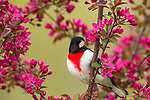 Rose-breasted grosbeak - male