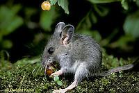 MU50-070z  Deer Mouse - immature young eating berries - Peromyscus maniculatus