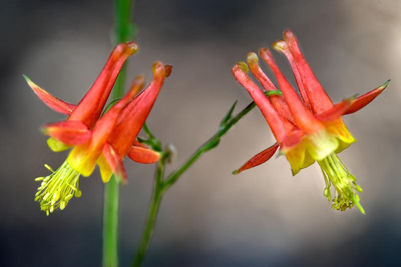 Crimson Columbine (Aquilegia formosa). Lake Tahoe. California