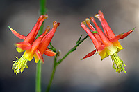 Crimson Columbine (Aquilegia formosa). Lake Tahoe. California