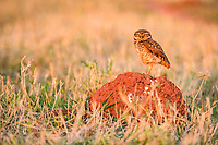 burrowing owl, Athene cunicularia, roosting on termite mound, Bonito, Mato Grosso do Sul, Brazil, South America