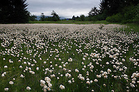 Eriophorum or cotton grass, a sedge in bloom in the meadow near the estuary of the stream flowing into Appleton Cove. .Ground truthing expedition by Bob Christensen,Richard Carstensen, Keynon Fields and Eric Ringler, to see investigating past and proposed timber projects in the Tongass National Forest.  Looking at the past and trying to determine the effect of proposed cuts.