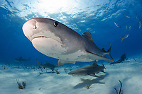 Tiger sharks, (Galeocerdo cuvier) lemon sharks (Negaprion brevirostris), and diver at Tiger Beach, Bahamas, Caribbean, Atlantic