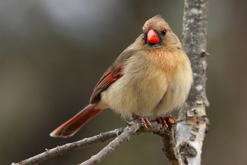 Northern Cardinal in Winter.