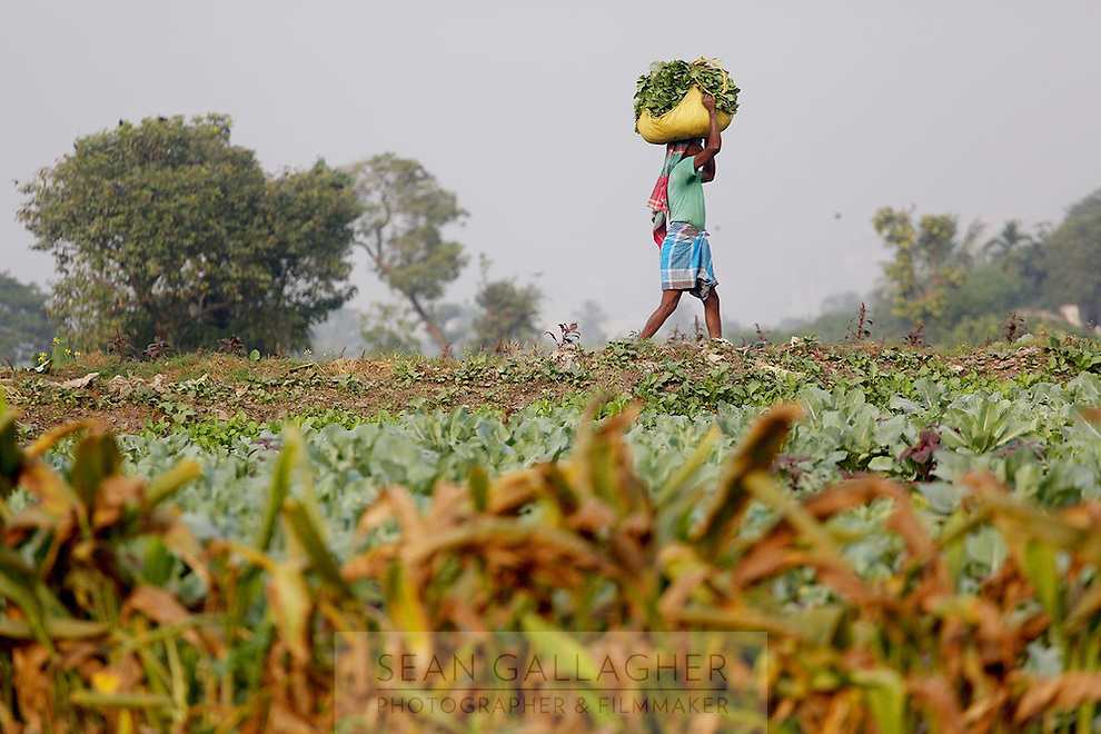 A man carries recently harvested vegetables in fields on the outskirts of Kolkata.<br /> <br /> To license this image, please contact the National Geographic Creative Collection:<br /> <br /> Image ID: 1925834 <br />  <br /> Email: natgeocreative@ngs.org<br /> <br /> Telephone: 202 857 7537 / Toll Free 800 434 2244<br /> <br /> National Geographic Creative<br /> 1145 17th St NW, Washington DC 20036