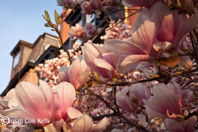 Magnolias in the Back Bay neighborhood, Boston, MA, USA