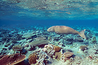 dugong or sea cow, Dugong dugon, swims over coral reef Indo-Pacific Ocean