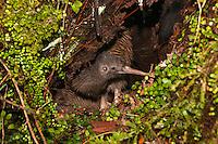 Kiwi Rowi in its burrow in Okarito forest, Westland National Park, South Westland, West Coast, South Island, New Zealand