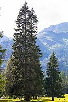 Fichte, Fichten, Gewöhnliche Fichte, Rot-Fichte, Rotfichte, Picea abies, Spruce, Common Spruce, Norway spruce, L'Épicéa, Épicéa commun