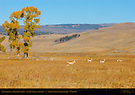 Pronghorns and Cottonwoods, Lamar Valley in Autumn, Yellowstone National Park, Wyoming