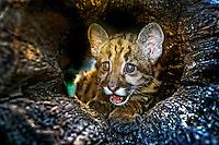 Animais. mamiferos. Filhote de Onça-parda ou Sussuarana ( Felis concolor). Foto de Sergio Amaral.