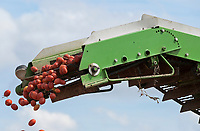 ITALY, Parma, Basilicanova, tomato contract farming for company Mutti s.p.a., harvest with Guaresi harvester, the harvested plum tomatoes are used for canned tomato, pulpo, passata and tomato concentrate / ITALIEN, Tomaten Vertragsanbau fuer Firma Mutti spa, die geernteten Flaschentomaten werden anschliessend zu Dosentomaten, Passata und Tomatenmark verarbeitet und konserviert, alles 100 Prozent Italien