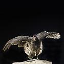 13/10/07 - THIERS - PUY DE DOME - FRANCE - 41 Exposition d aviculture, Championnat Regional du Bantam Club Francais. Poule Orpington Naine Bleue - Photo Jerome CHABANNE