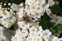 Breitflügelige Raupenfliege, Breitflüglige Raupenfliege, Männchen, Blütenbesuch, Ectophasia crassipennis, Tachinid Fly, male, Tachina fly, Tachinidae, Raupenfliegen, Igelfliegen, Schmarotzerfliegen, tachinids, parasitic flies
