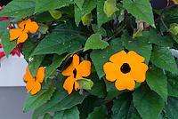 Thunbergia alata Orange Glo, annual climbing vine with bright blooms