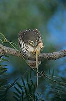 Ferruginous Pygmy-Owl, Glaucidium brasilianum, young eating on lizard, Willacy County, Rio Grande Valley, Texas, USA