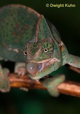 CH51-569z  Female Veiled Chameleon tongue flicking at prey, Chamaeleo calyptratus