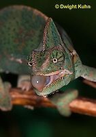 CH51-569z  Female Veiled Chameleon tongue flicking at prey, Chamaeleo calyptratus