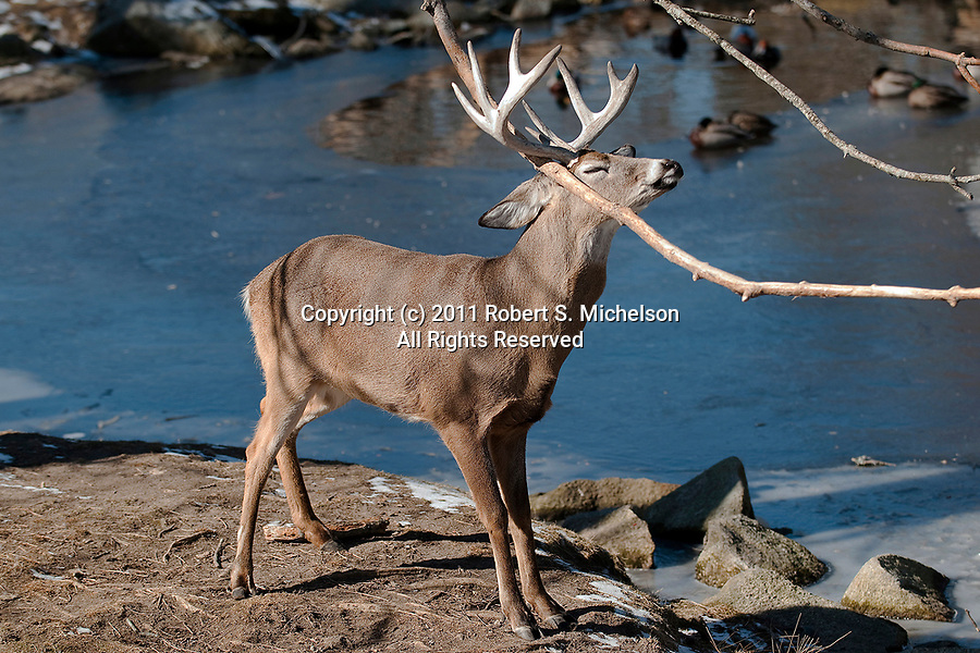 Large Whitetail Deer Buck trying to break off anters after breeding season, vertical