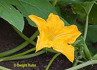 HS24-553z  Pumpkin male flower